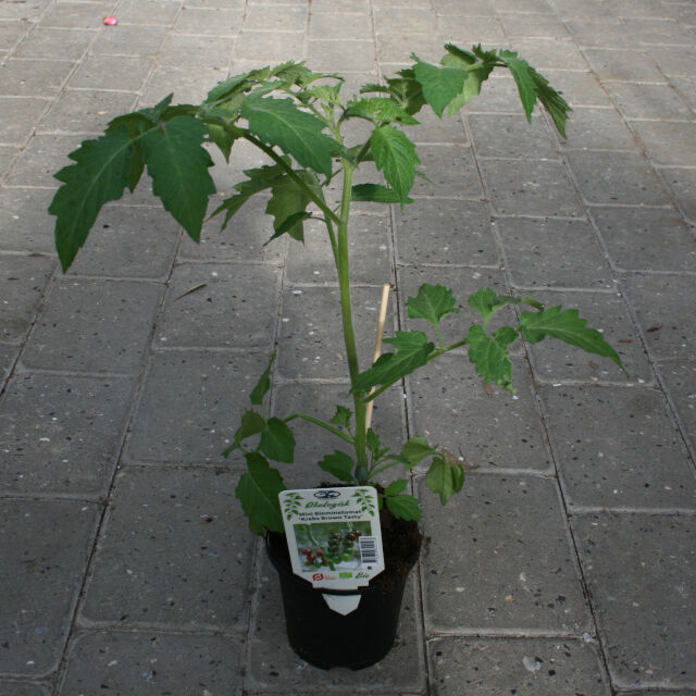 Tomatplante - Mini blommetomat 'Krebs Brown tasty'