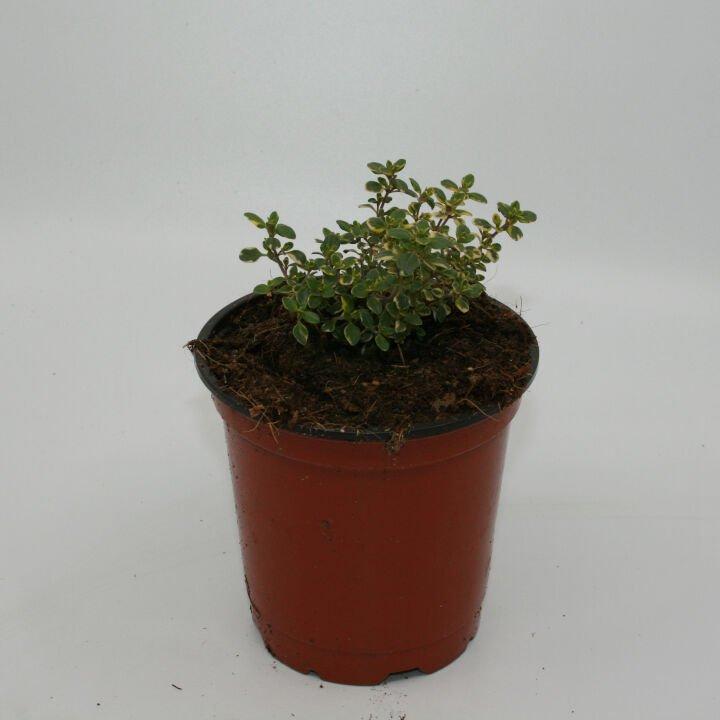 Citron timian gul/grøn - Thymus citr. 'Varigata'- 10cm potte