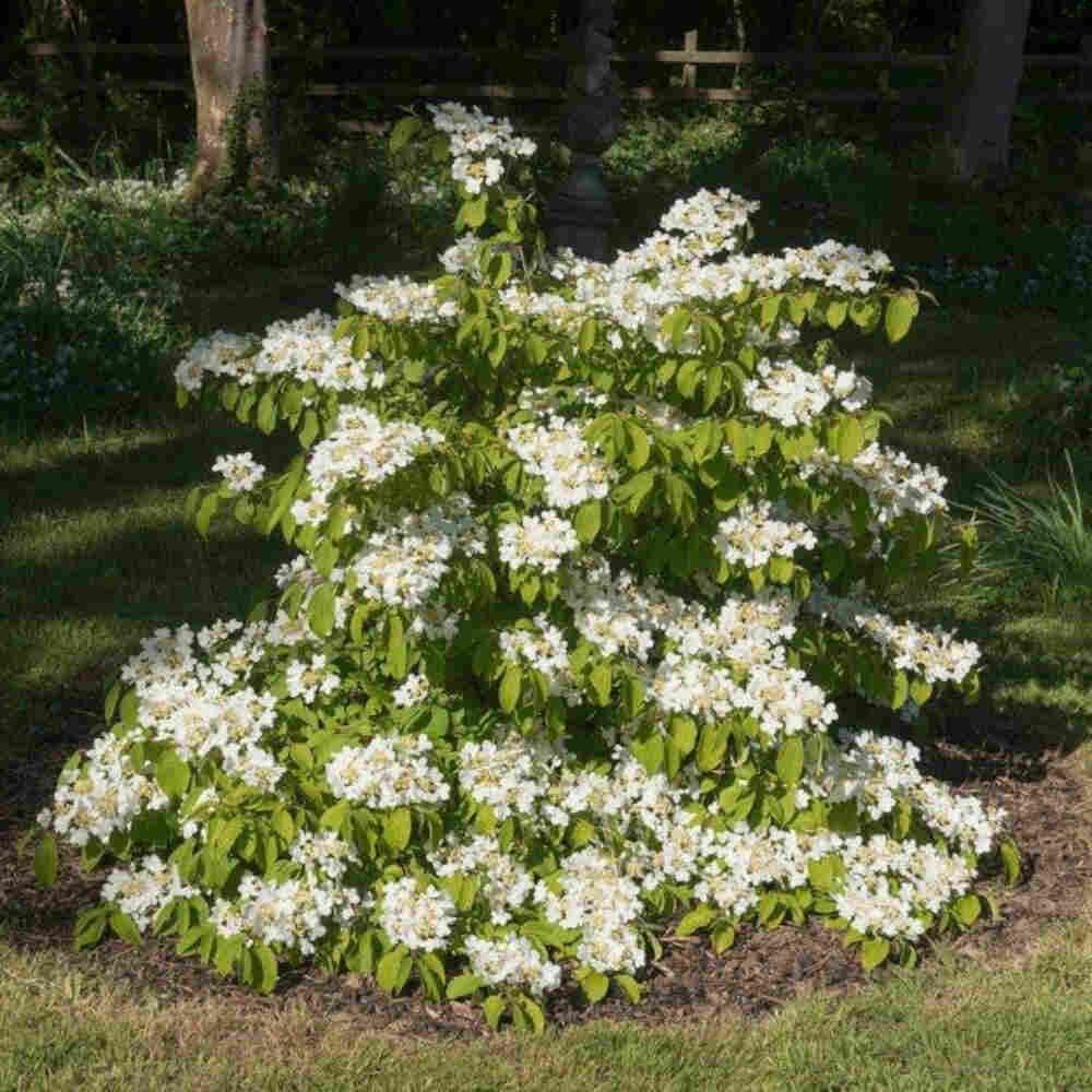 Japansk snebolle - Viburnum plicatum 'Watanabe'