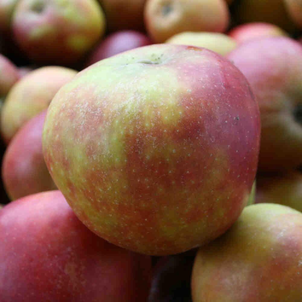 Æbletræ - Malus domestica 'Holsteiner Cox' - Dværg