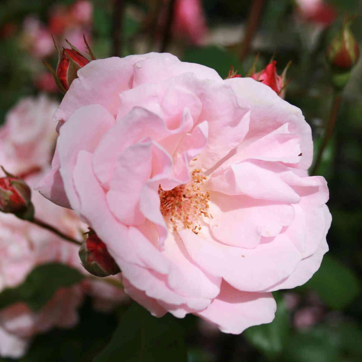 Rose 'Queen Elizabeth'