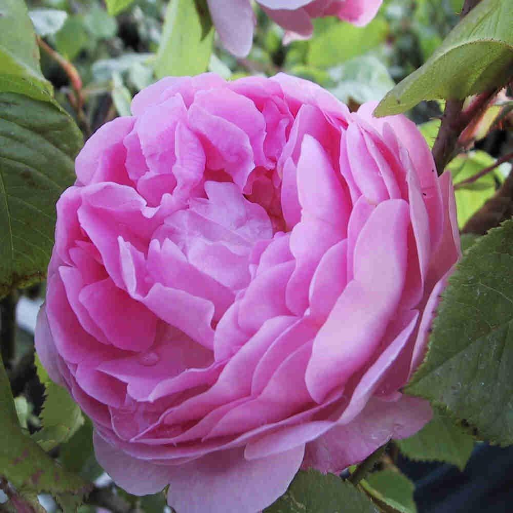 Engelsk rose 'Constance Spry' i blomst