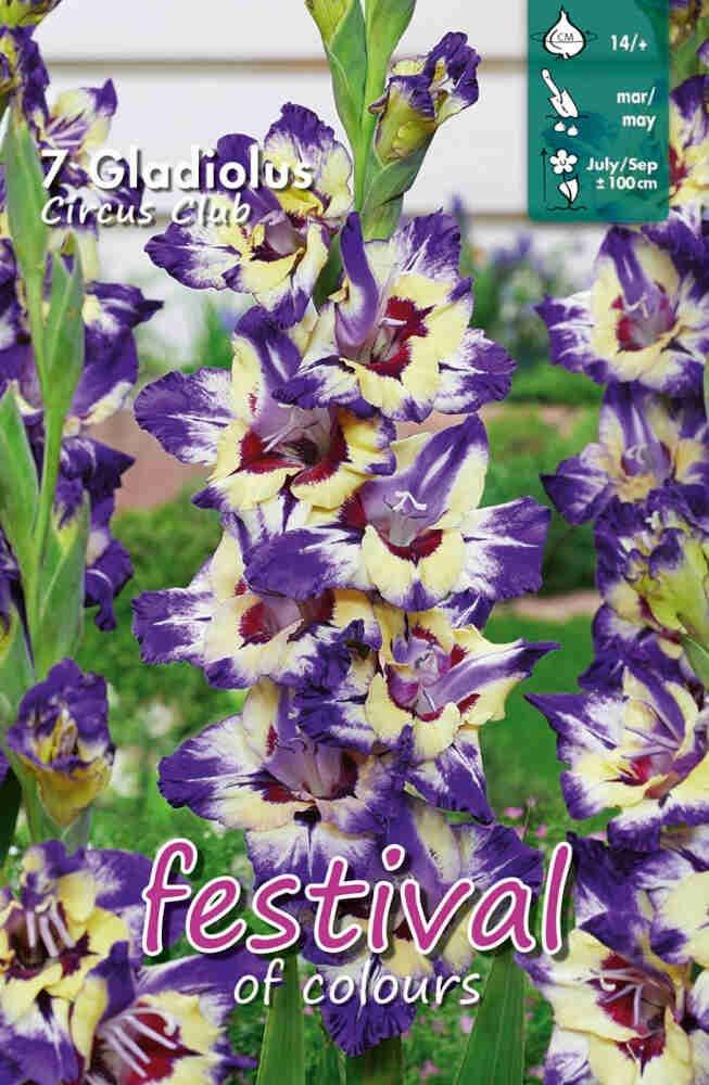 Gladiolus Circus Club, large flowering, 7 stk