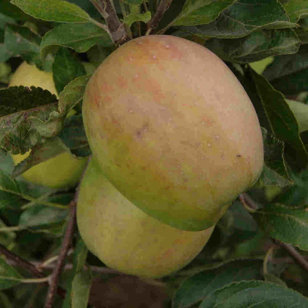Æbletræ - Malus domestica 'Bodil Neergård'