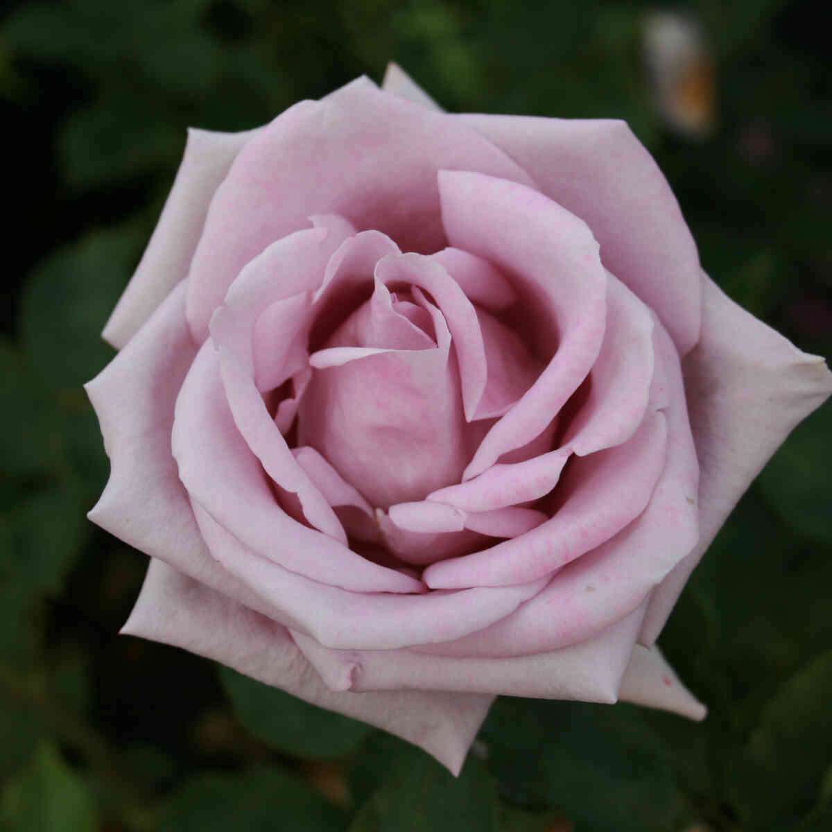 Rose 'Blue Moon'