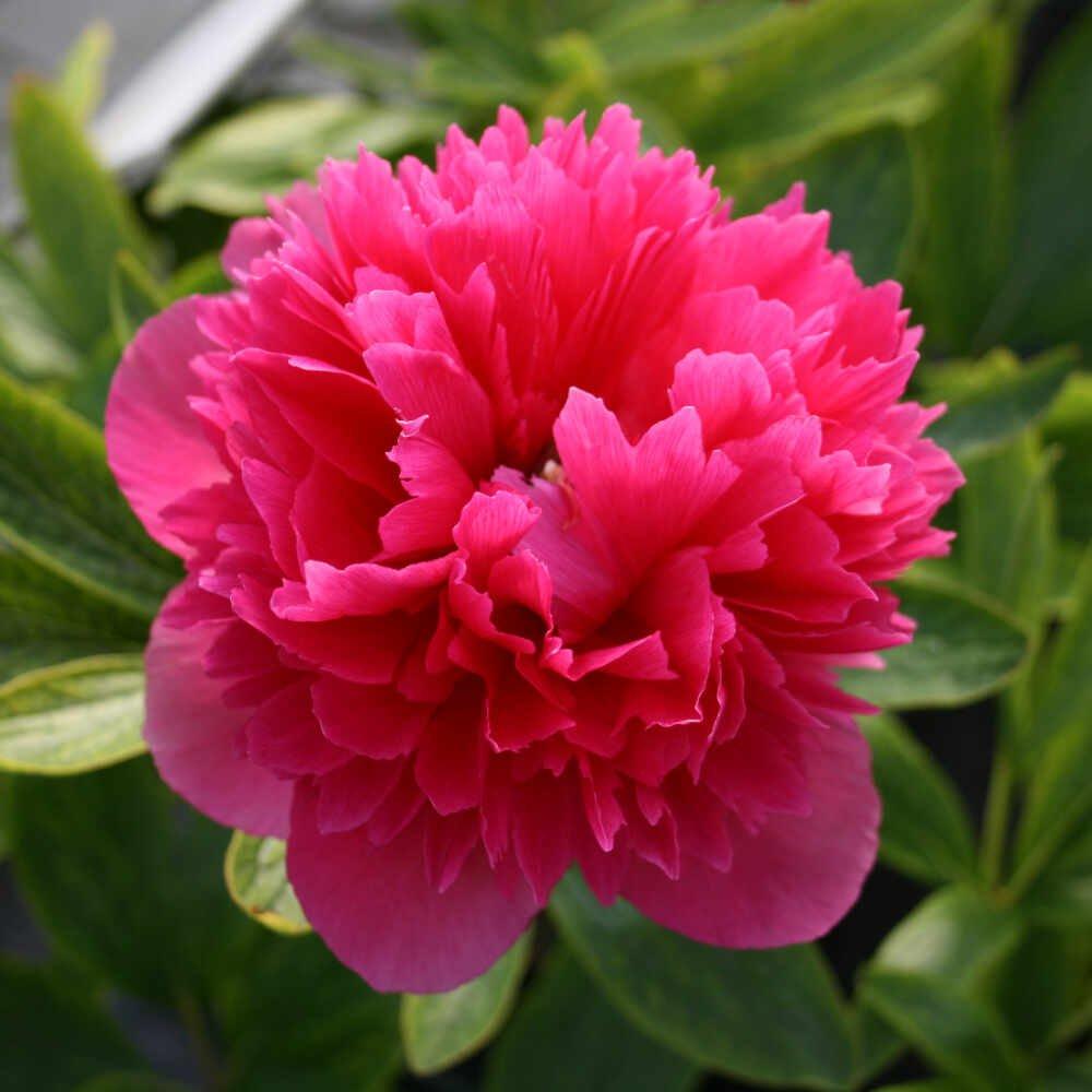 Bonderose paeonia officinalis rosea plena i blomst