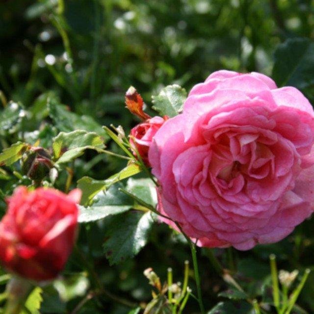 Engelsk rose Christopher Marlowe i blomst