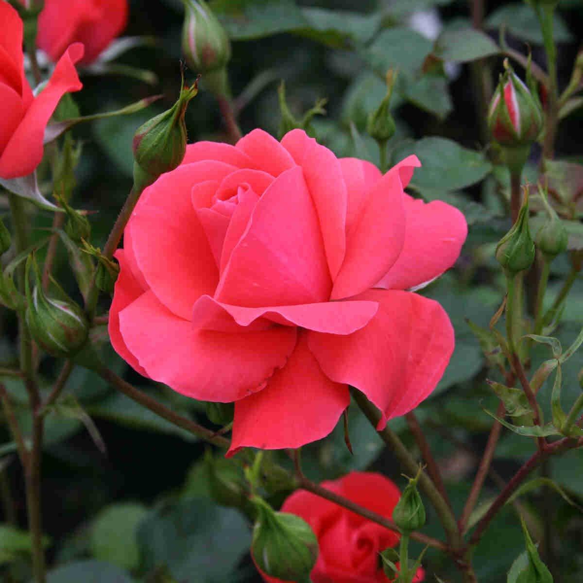 Rose 'Riberhus'