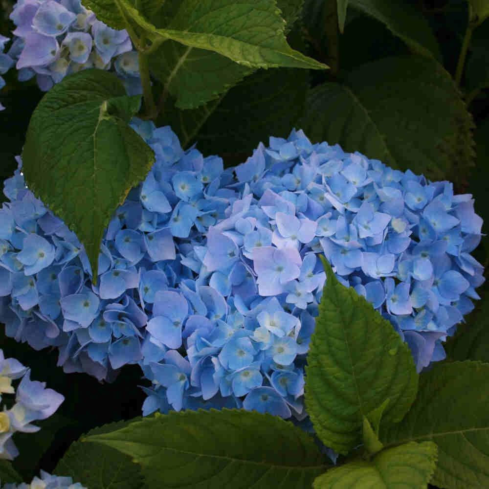 Hortensia - Hydrangea macrophylla 'Endless Summer Blå'