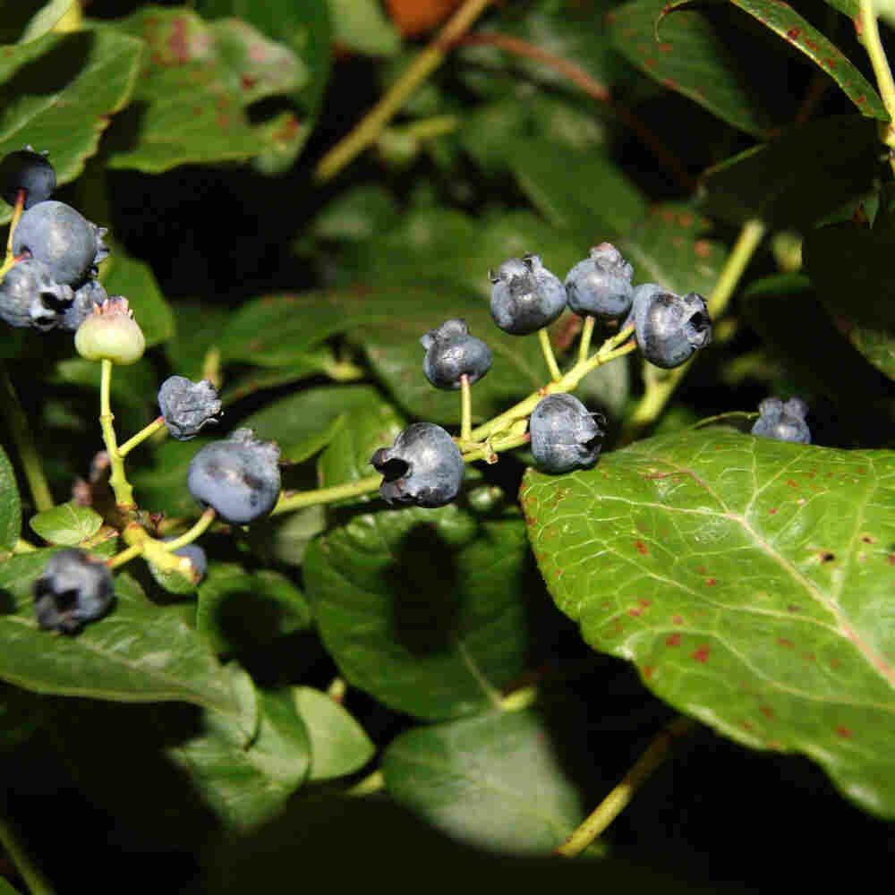 Blåbær - Vaccinium corymbosum 'Northland'