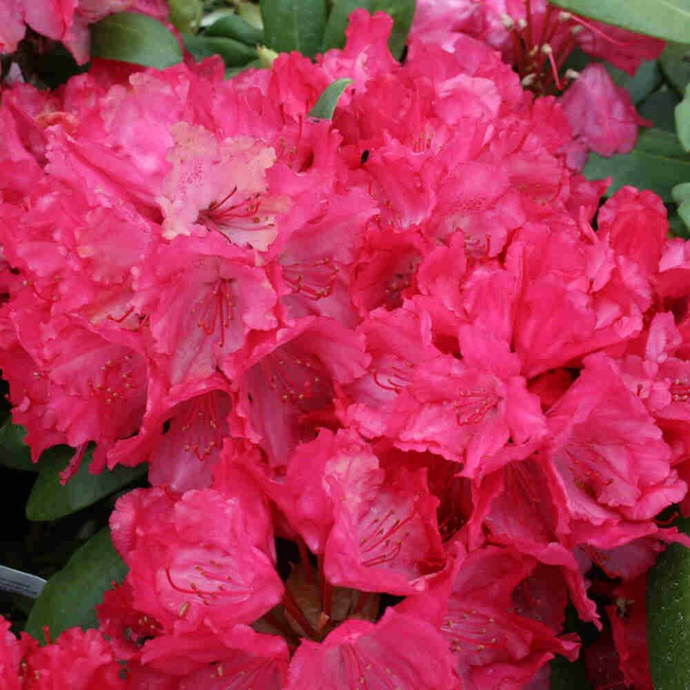 Rhododendron yakushimanum 'Astrid'