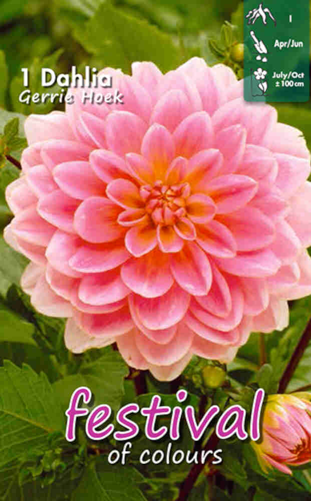 Dahlia Gerrie Hoek Decorative