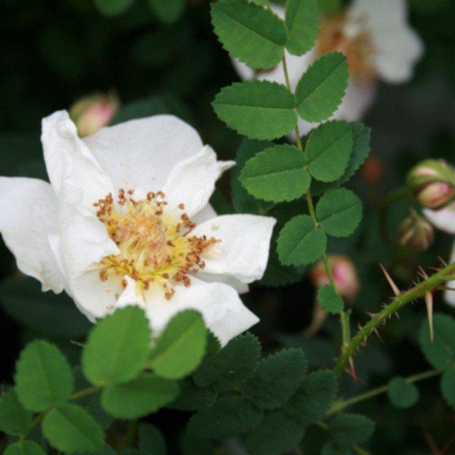 Klitrose pimpinellifolia 'Vester Husby'