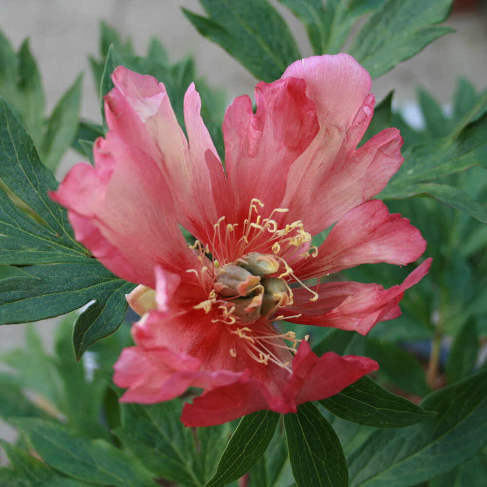 Pæon knold - Paeonia itoh hybrid 'Copper Kettle'
