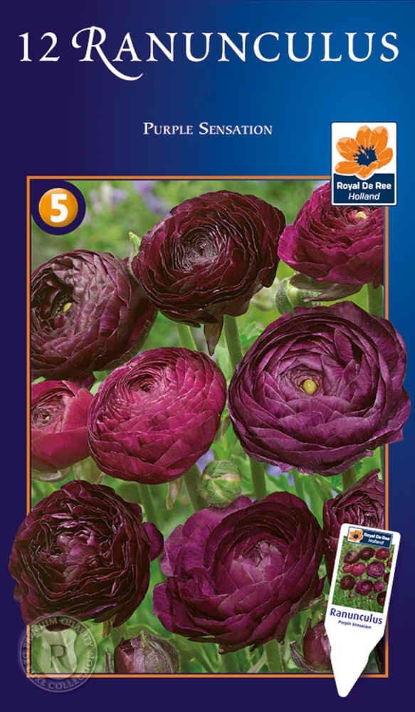 Ranunkel - Ranunculus Purple Sensation 8/+