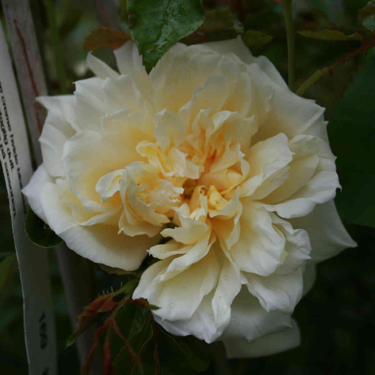 Alberic Barbier slyngrose i blomst