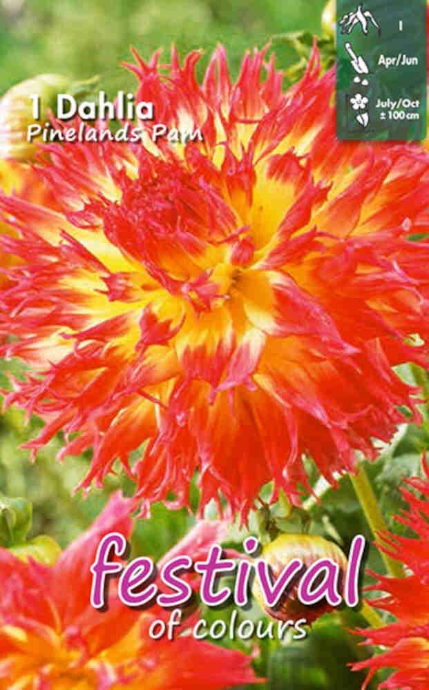 Dahlia Pinelands Pam Cactus