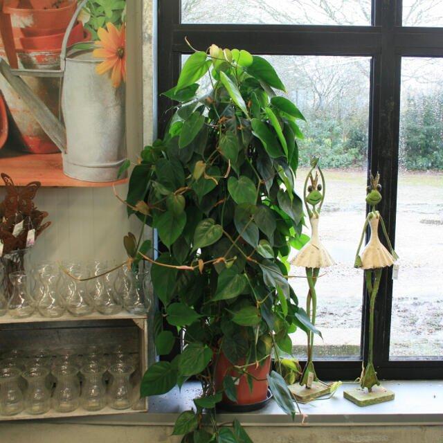 Guldranke - Epipremnum pinnatum