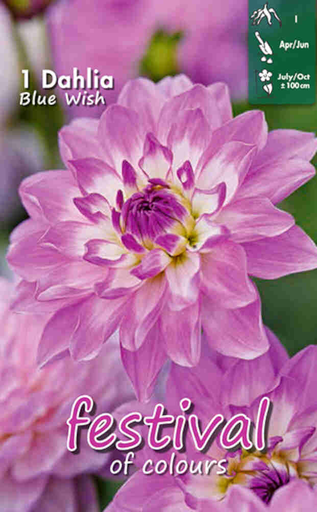 Dahlia Blue Wish Decorative
