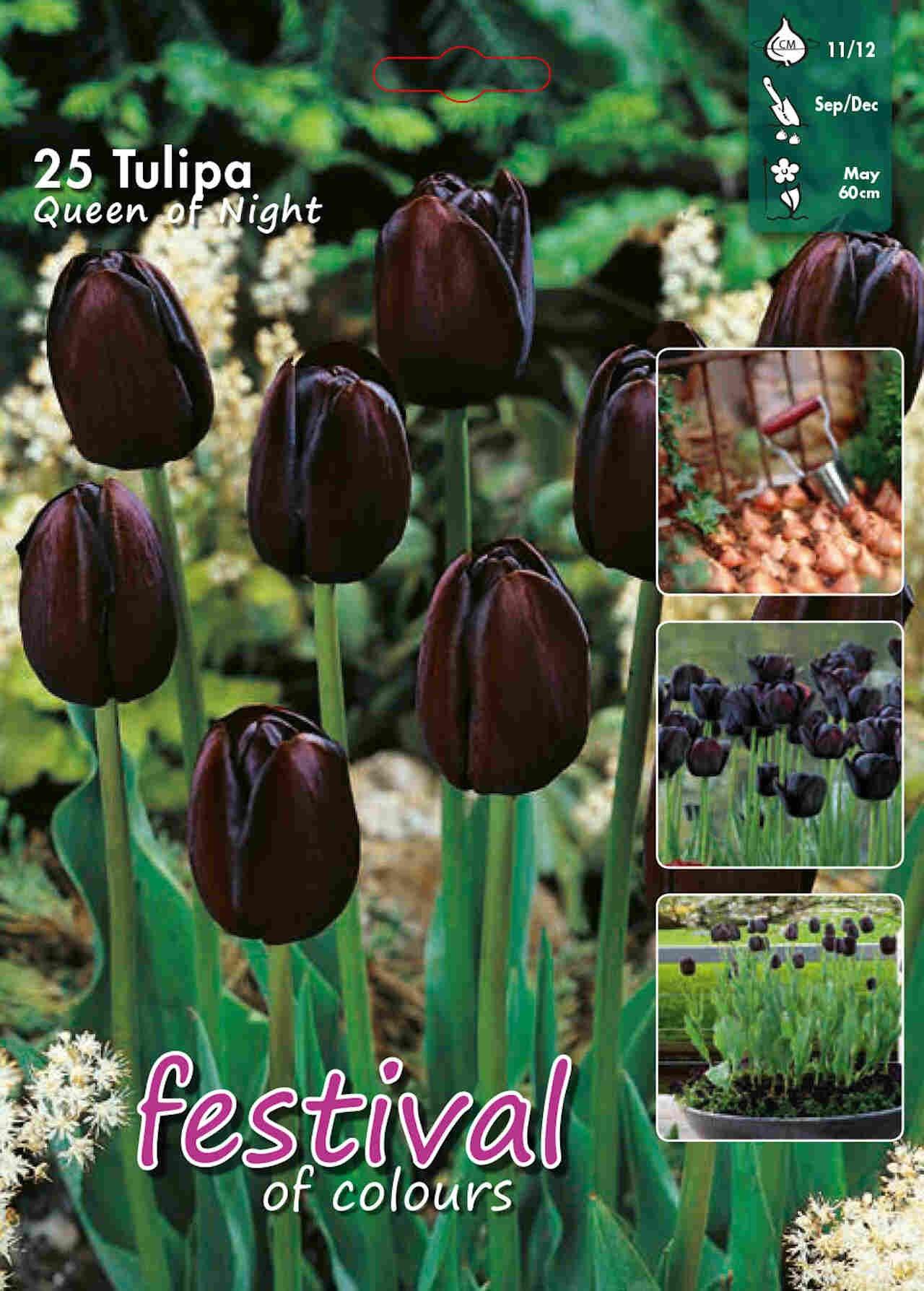 Tulipanløg - Tulipa Queen of Night 12/+ Big bag