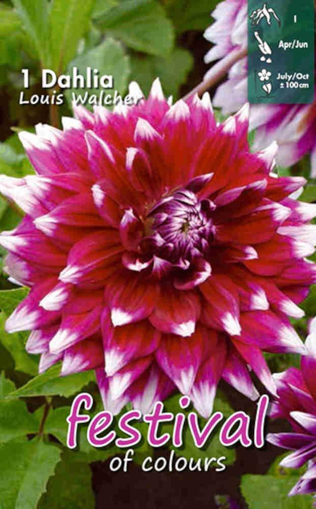 Dahlia Louis Walcher Decorative