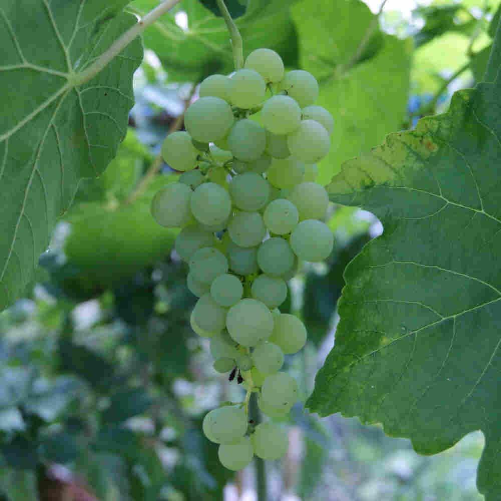 Vindrueplante - Vitis vinifera 'Himrod' - Stor