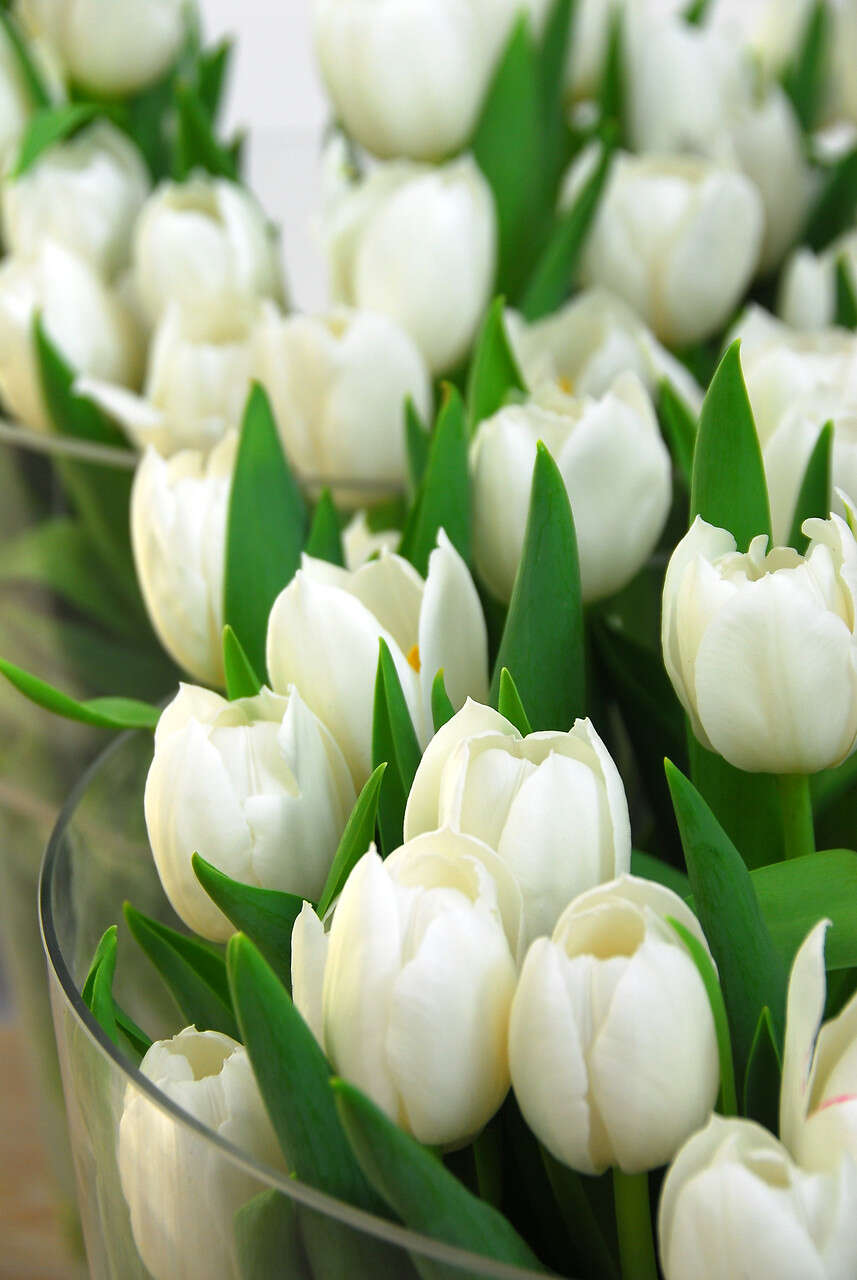 Tulipanløg - Tulipa  Triumph 'White Dream' (12/+)