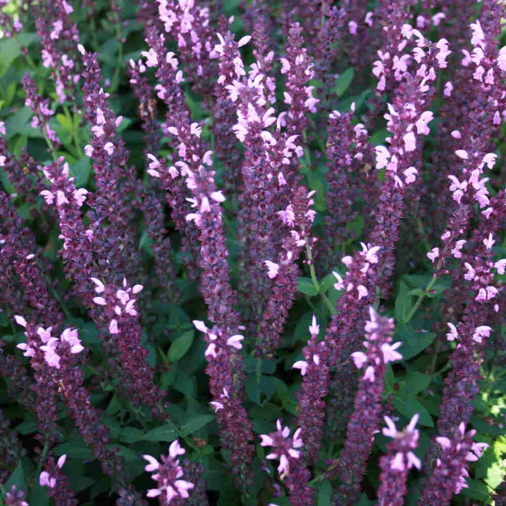 Staudesalvie - Salvia nem. 'Sensation'® Deep Rose