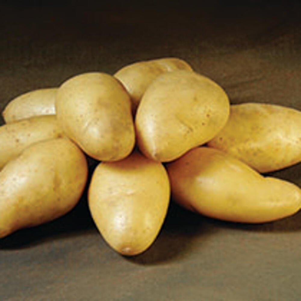 Læggekartofler - Exquisa
