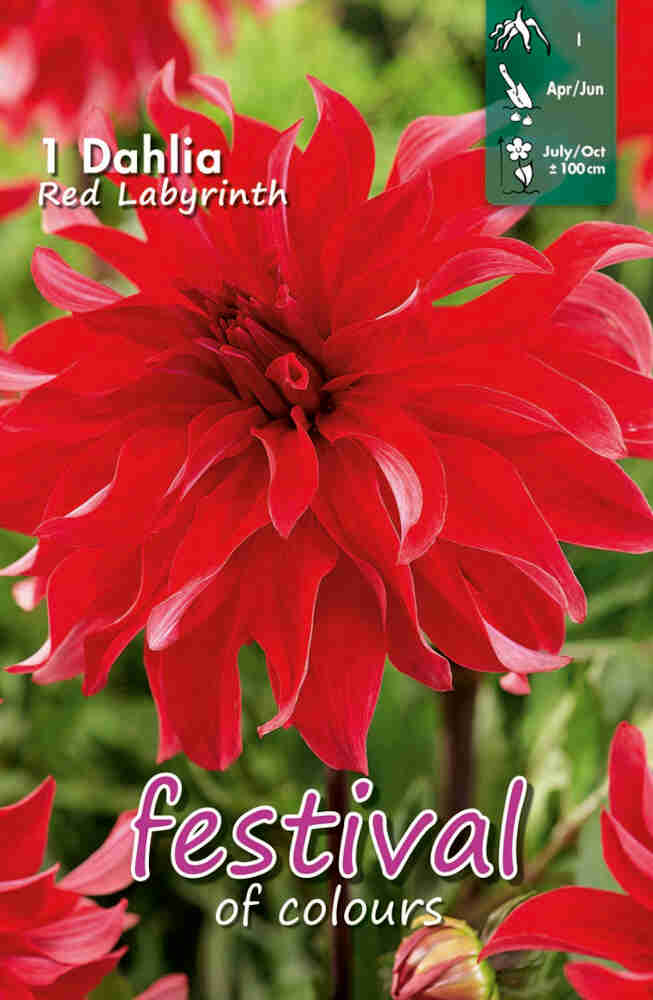 Dahlia Red Labyrinth Large-flowered, NYHED
