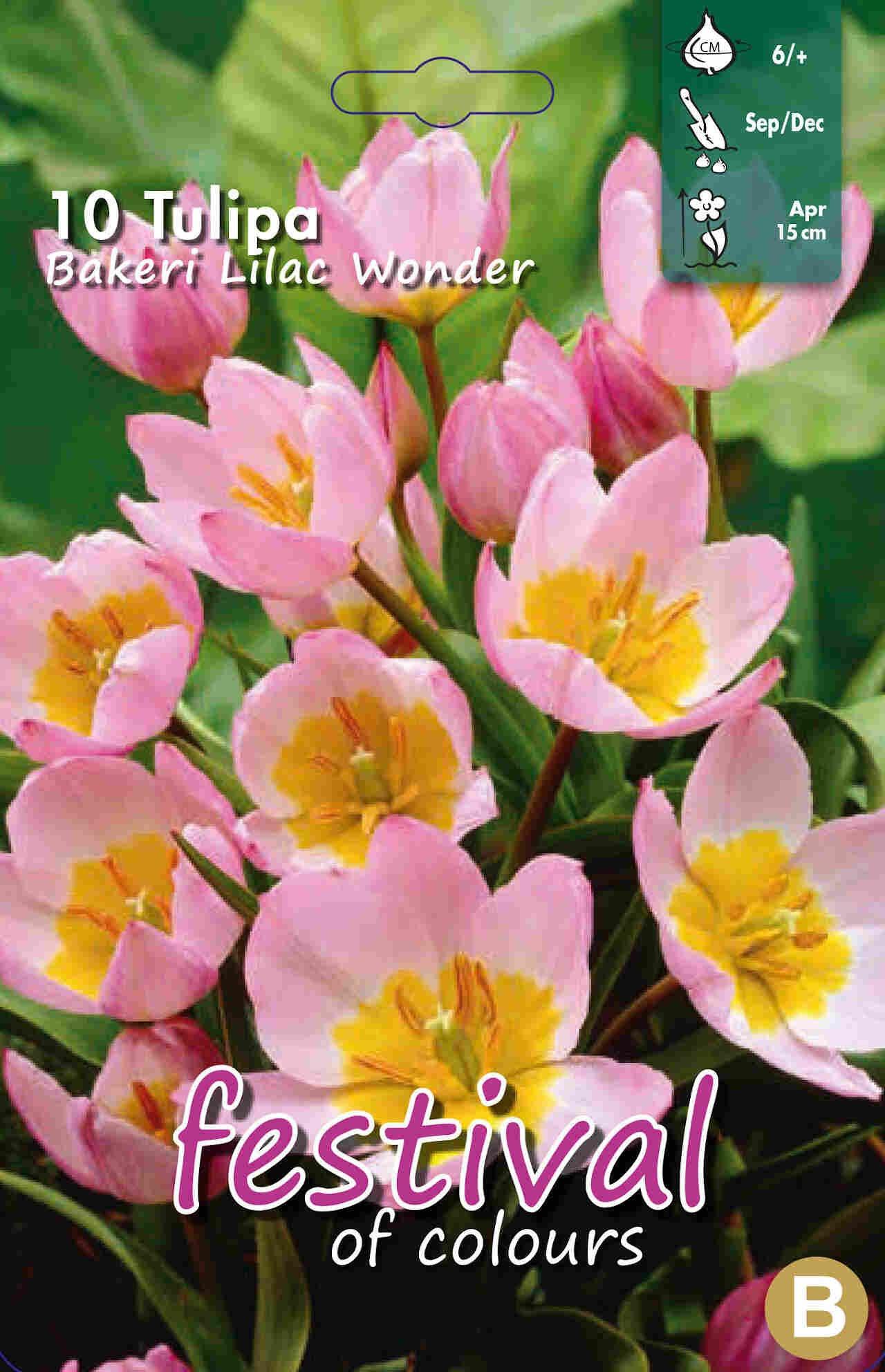 Tulipanløg - Tulipa Bakeri Lilac Wonder 6/+