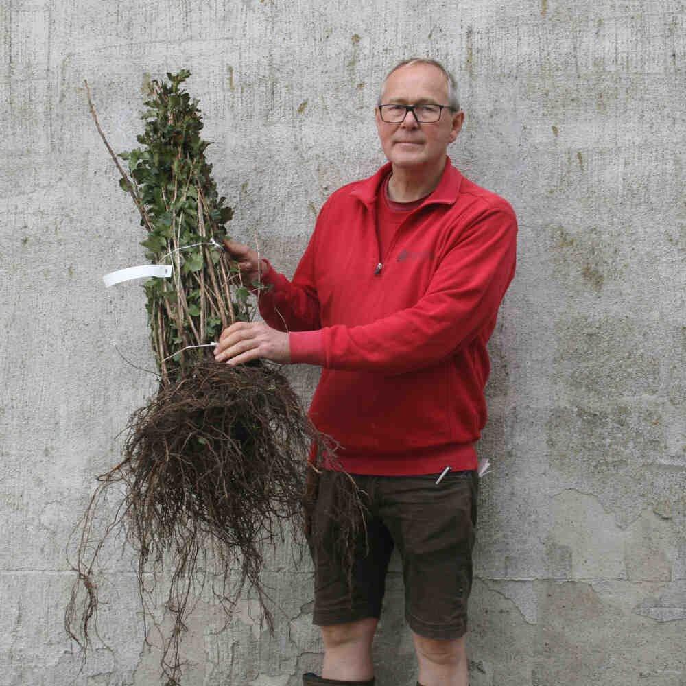Fjeldribs - Ribes alpinum 'Hemus'