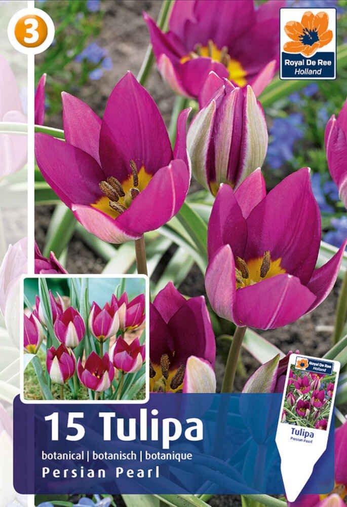 Tulipanløg - Tulipa Persian Pearl 6/+