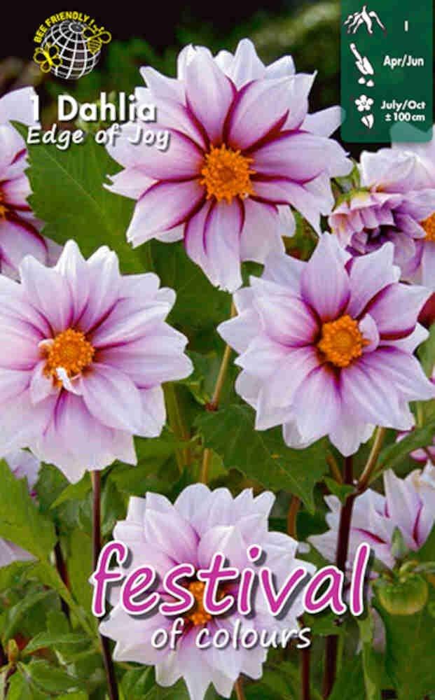 Dahlia Edge of Joy Single flowering