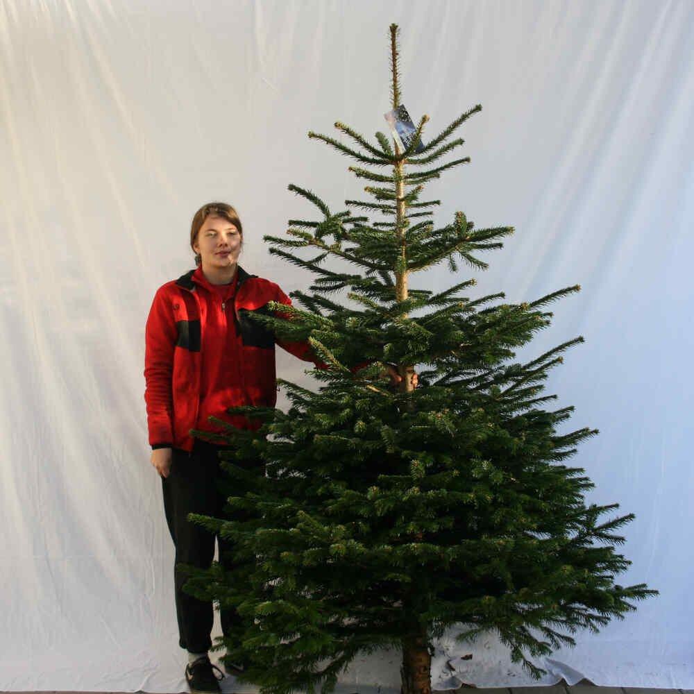 Juletræ - Nordmannsgran - 200-250cm