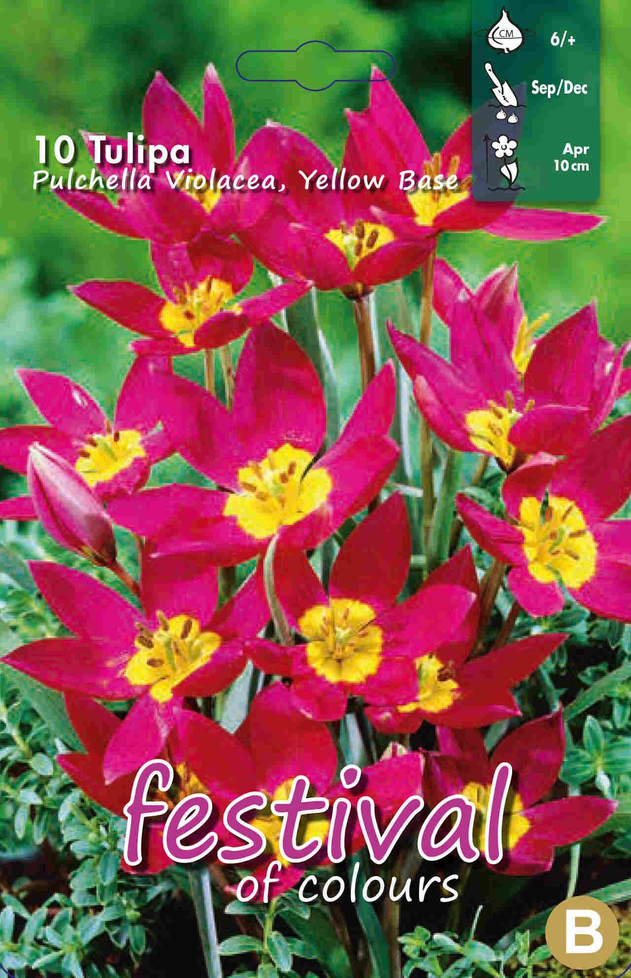 Tulipanløg - Tulipa Pulchella Violet Yellow Base 6/+