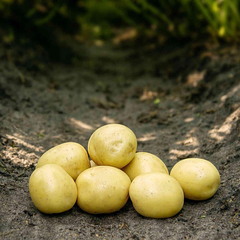 Gala læggekartofler i køkkenhaven