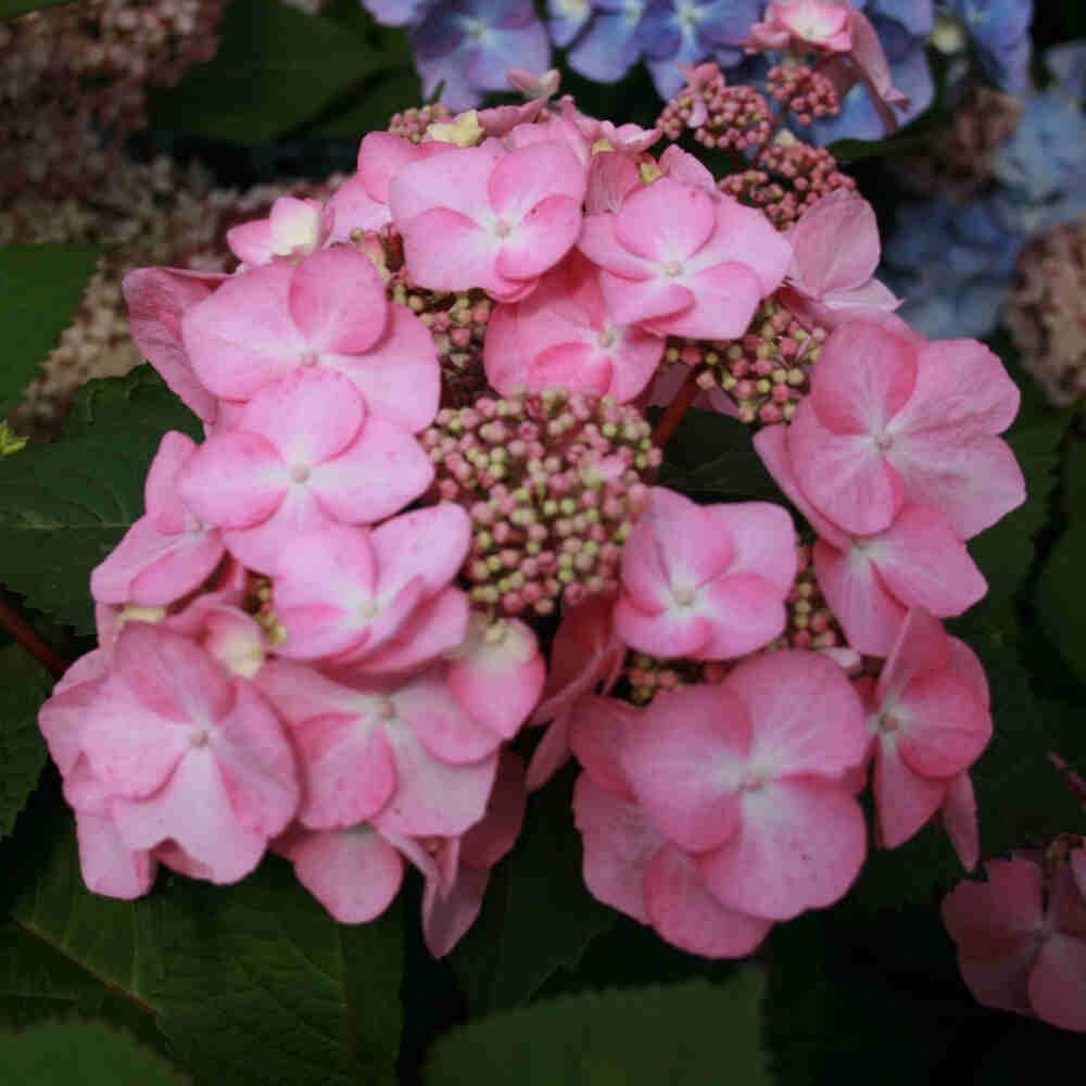 Hortensia - Hydrangea macrophylla 'Twist-n Shout' Rosa