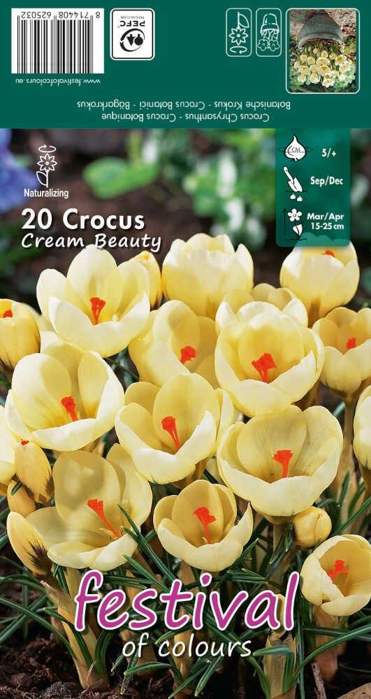 Krokus - Crocus Cream Beauty  5/+