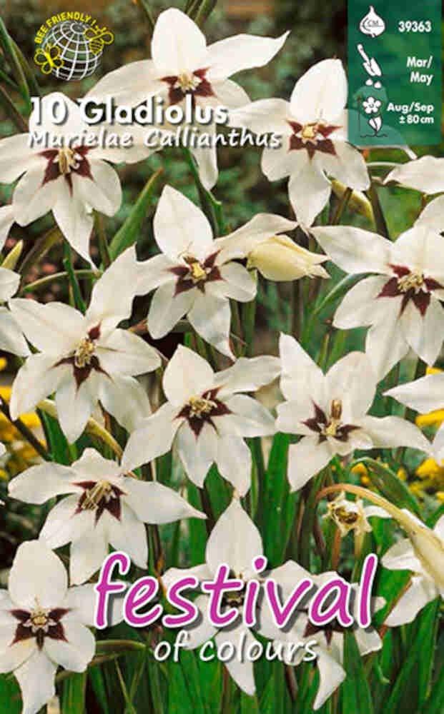 Gladiolus 'Murielae Callianthus' 8/10