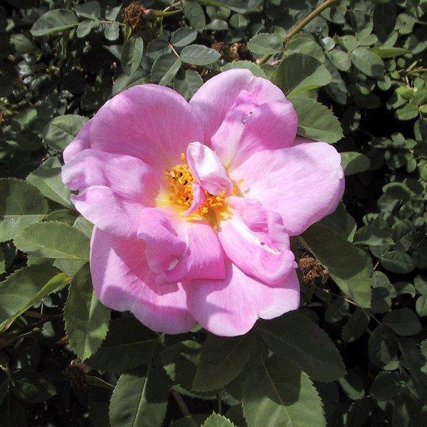 Buskrose Margurite Hilling blomstrer