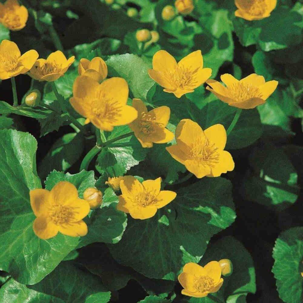 Engkabbeleje - Caltha palustris