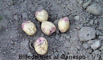 Læggekartofler - King Edward