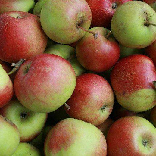 Æbletræ - Malus domestica 'Bellida'