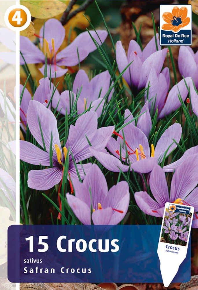 Krokus - Crocus sativus -Safran krokus 7/8