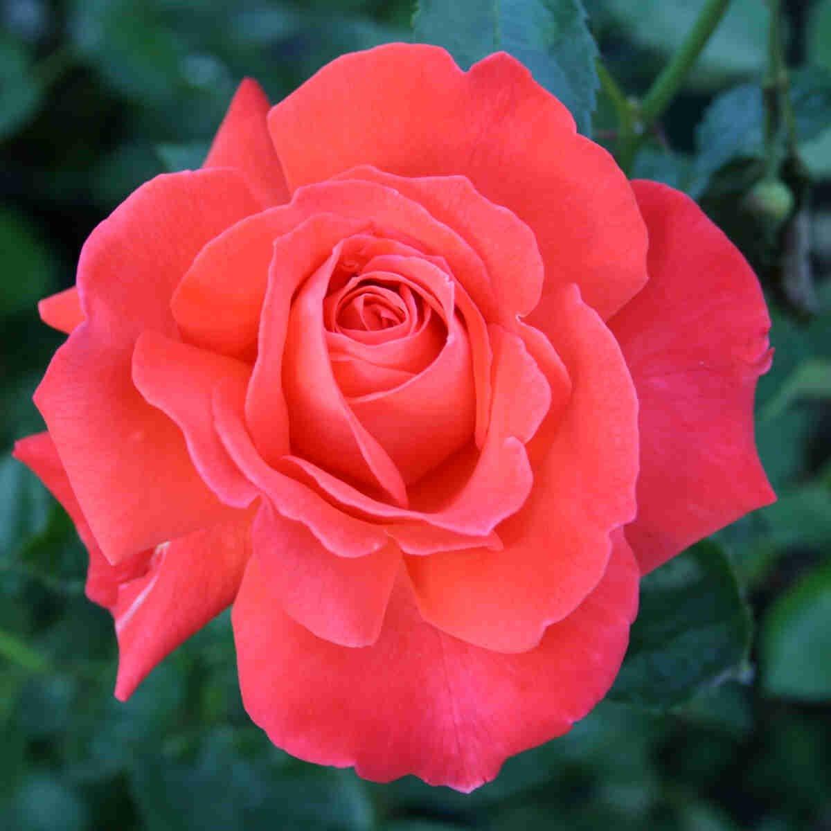 Storblomstret orange rød blomst i Alexander