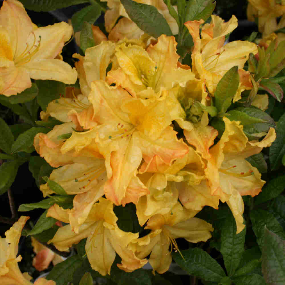 Rhododendron knaphill 'Harvest Moon
