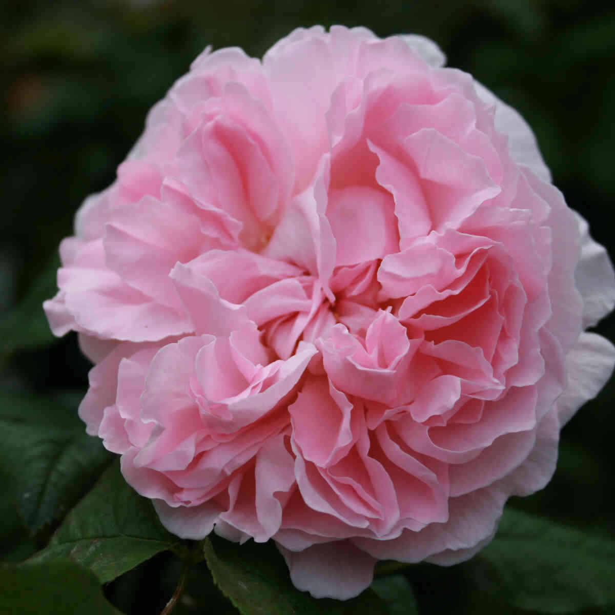 Rose 'Redoute'