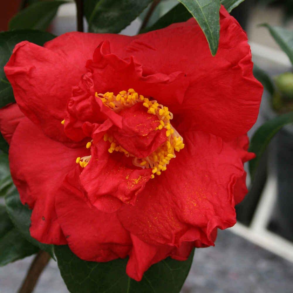 Kamelia - Camellia japonica 'Dr. Burnside'