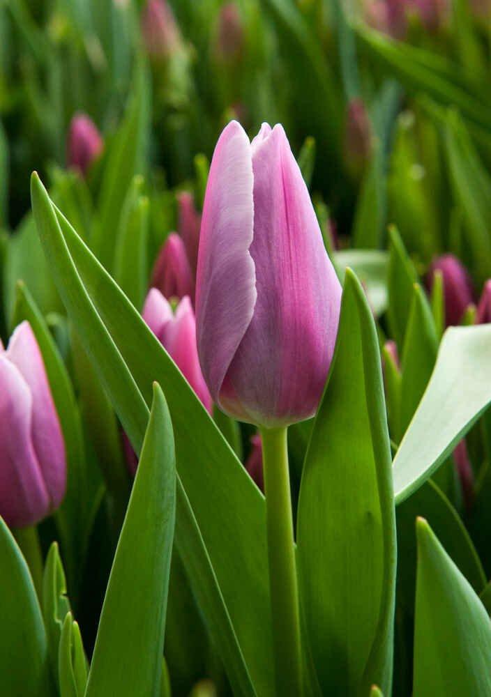 Tulipanløg - Tulipa Mistress Mystic (12/+) 10stk